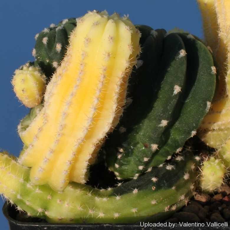creating a cactus chimera u0026 39 s  mutations  crested