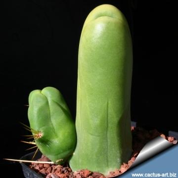 câți cm un penis standard prietenul are o erecție