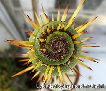 La spirale, mouvement de vie. - Page 10 Eulychnia_castanea_cv._varispiralis_spiral_form_27089_m