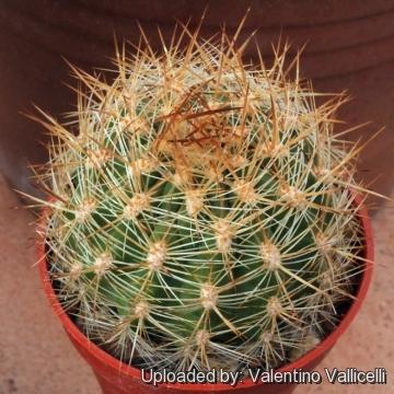 Matucana Pallarensis