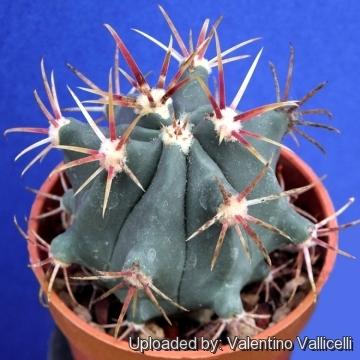 100 Seeds Mexico Barrel Cactus Ferocactus Latispinus 15 50