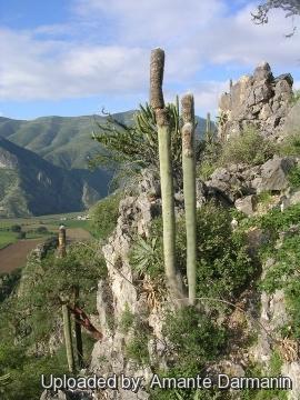 Cephalocereus senilis for Anales del jardin botanico de madrid