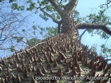 Ceiba speciosa for Anales del jardin botanico de madrid