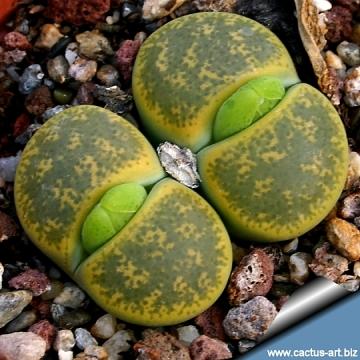 Литопсы живой камень история цветка описание уход