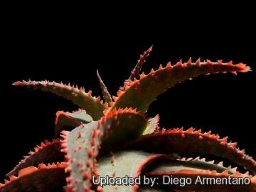 Aloe cv. Christmas Carol