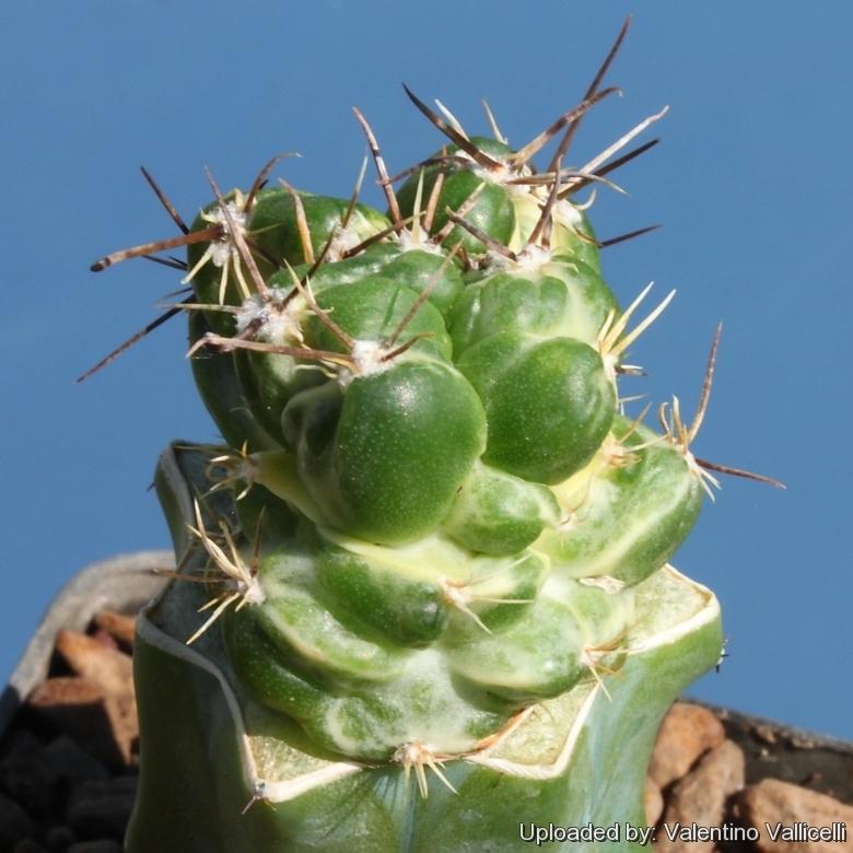 creating a cactus chimera u0026 39 s  mutations  crested