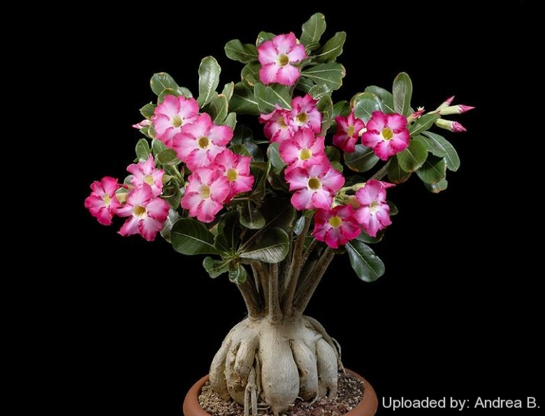 Adenium obesum Desert Rose attractive from top to toe