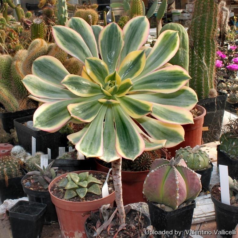 Aeonium Sun Burst Succulent Flower 1 Cutting