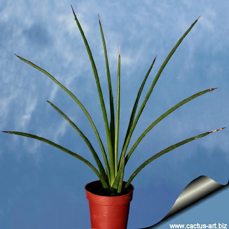 Agave stricta (Needle Leaf Agave)