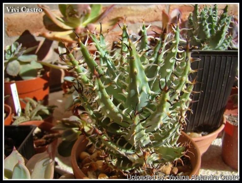 Rarität Aloe erinacea 329