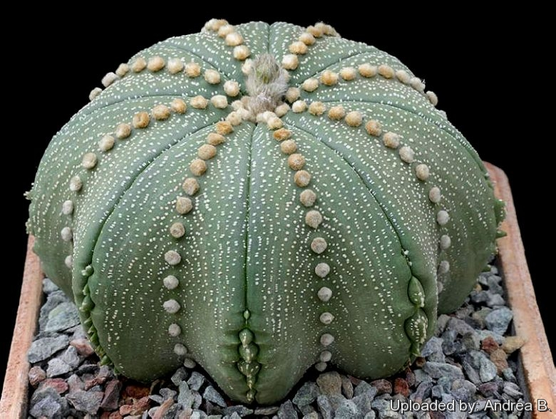 Astrophytum asterias star shape type.