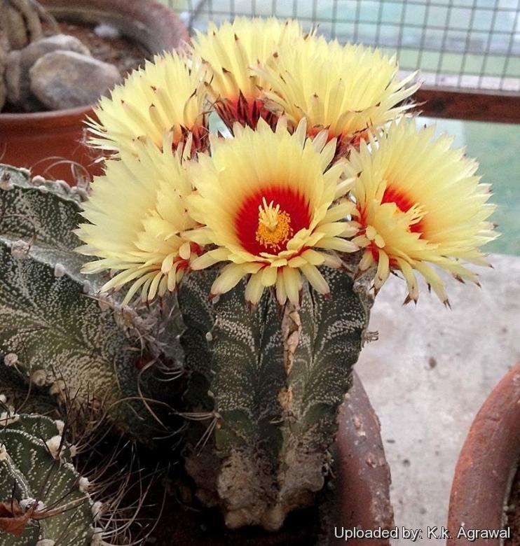 10 SEEDS Astrophytum Williams Rare!