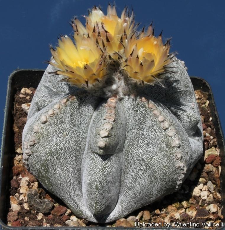 Astrophytum myriostigma cv. Irregular Ribs a1dd0a1f528d