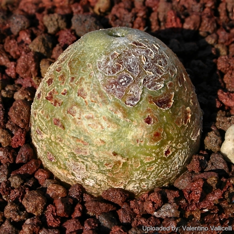 astrophytum myriostigma cv  onzuka blind form