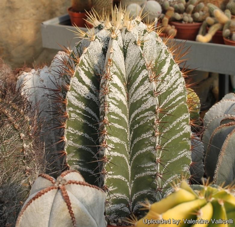 bishop/'s cap Astrophytum ornatum Live Plant shipped in a Pot monk's hood