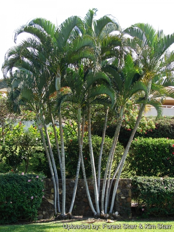 Chrysalidocarpus lutescens for Pictures of areca palm plants