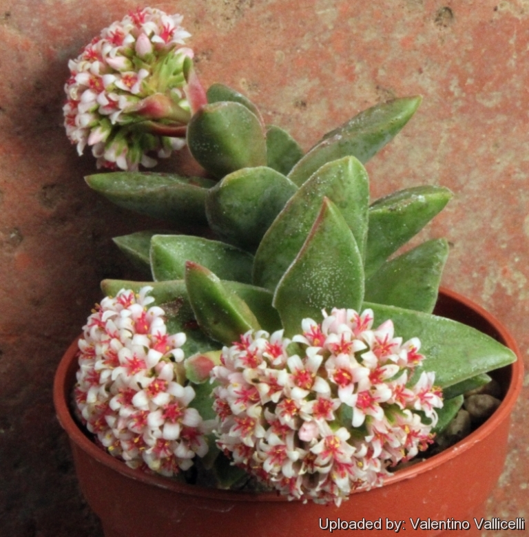Crassula cv. Bride\'s Bouquet