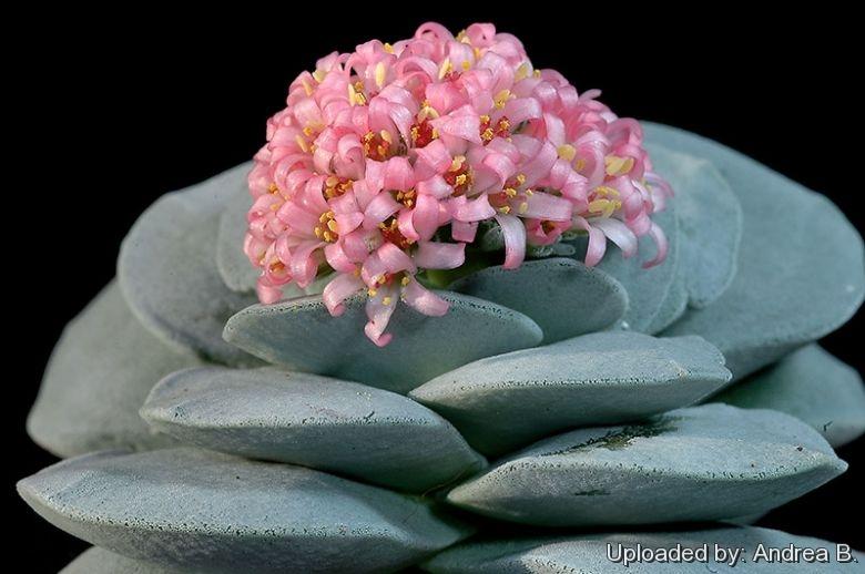 crassula cv  morgan u0026 39 s beauty