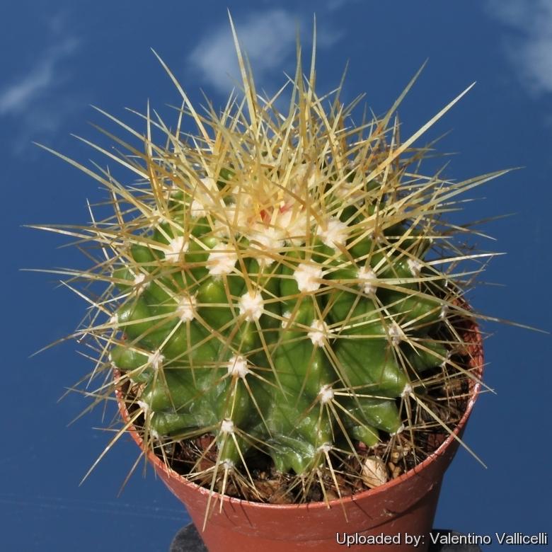 [Image: Echinocactus_hybrid_(Echinocactus_gruson...5485_l.jpg]