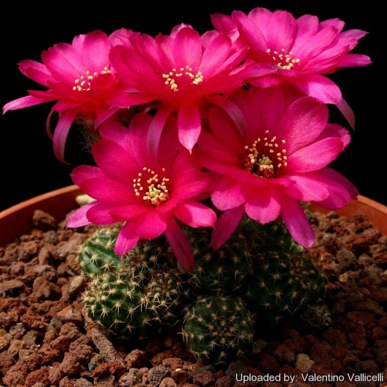 Echinopsis Chamaecereus Hybride Hot Flame