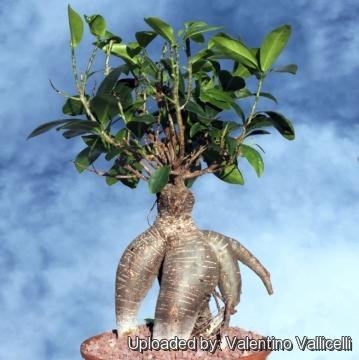 Ficus microcarpa ginseng verzorging