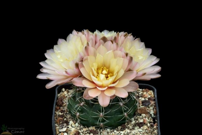 Semis de Gymnocalycium (cactus) - Page 3 Gymnocalycium_andreae_subs._carolinense_29555_l