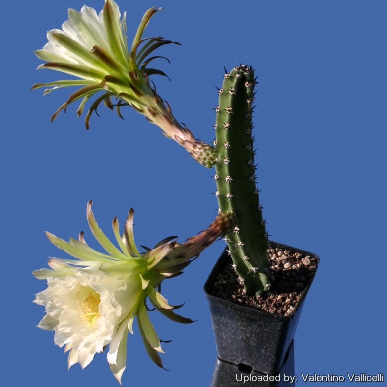 Harrisia jusbertii harrisia jusberti is a night blooming cereus commonly known as queen of the night it is a nice columnar cactus that produces huge nocturnal white flowers mightylinksfo