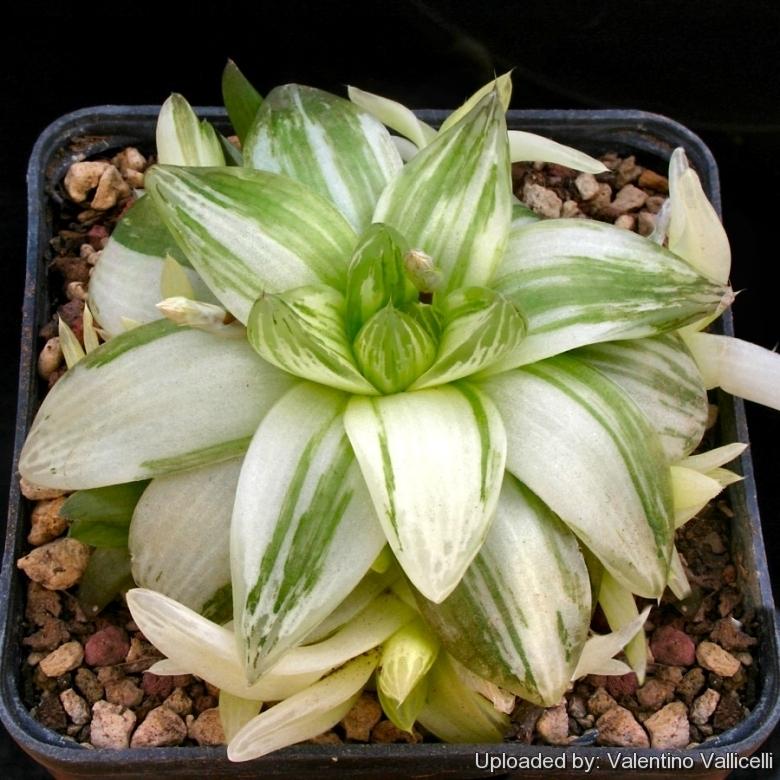 Haworthia cymbiformis Duval/'Variegata/' Succulent plants Haw.