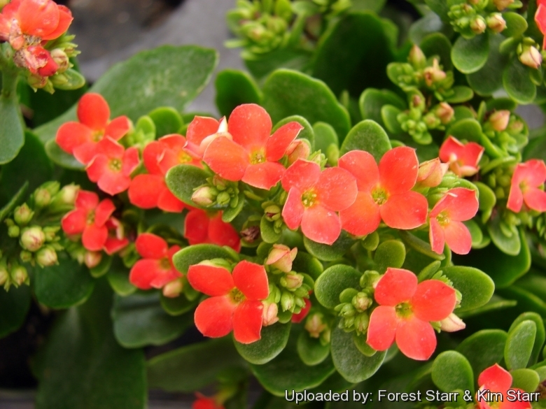 Kalanchoe blossfeldiana flowers at walmart kahului maui hawaii usa january 17 2008 mightylinksfo