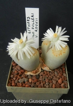 Lithops Julii Subs Fulleri Var Rouxii Daisy, having experienced how cruel alan can be, is noticeably scared of lithop and her kin, despite lithop's kind demeanor. llifle