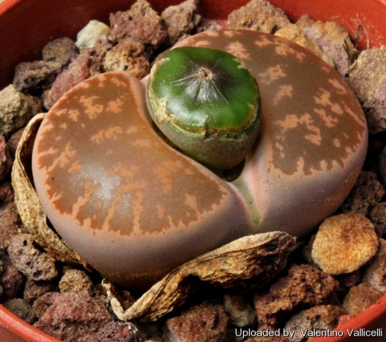 MESEMBS SEED--Lithops lesliei mariae C141--20 Seeds