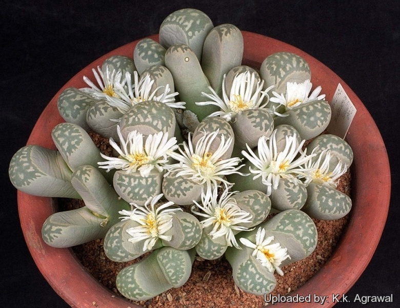 Lithops Marmorata C260-15 Seeds Living Stones Mesemb Succulent