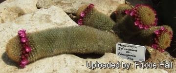 Cacti collection-Holzheu - Mammillaria pilcayensis