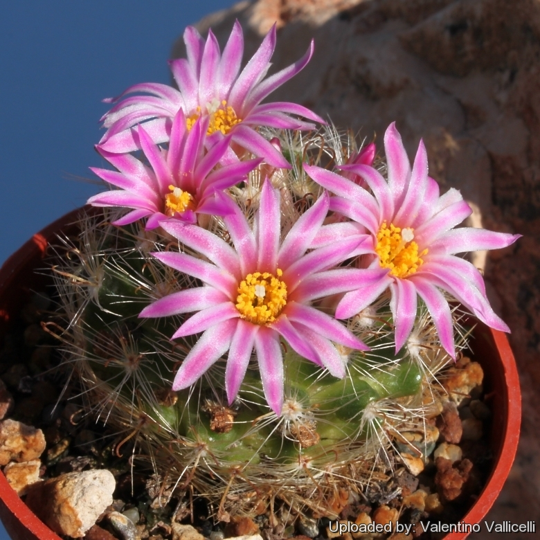 Semis de Mammillaria (cactus) Mammillaria_tepexicensis_6057_l