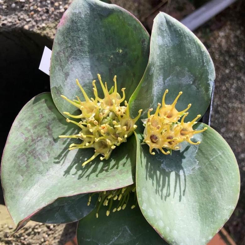 Massonia 5 seeds Massonia pustulata
