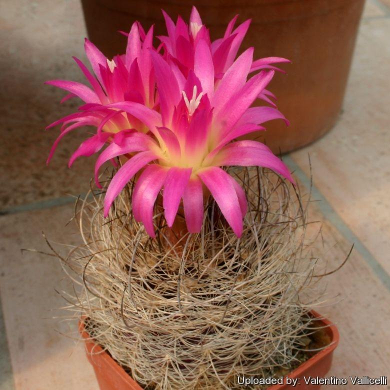 cactus plant Neoporteria senilis