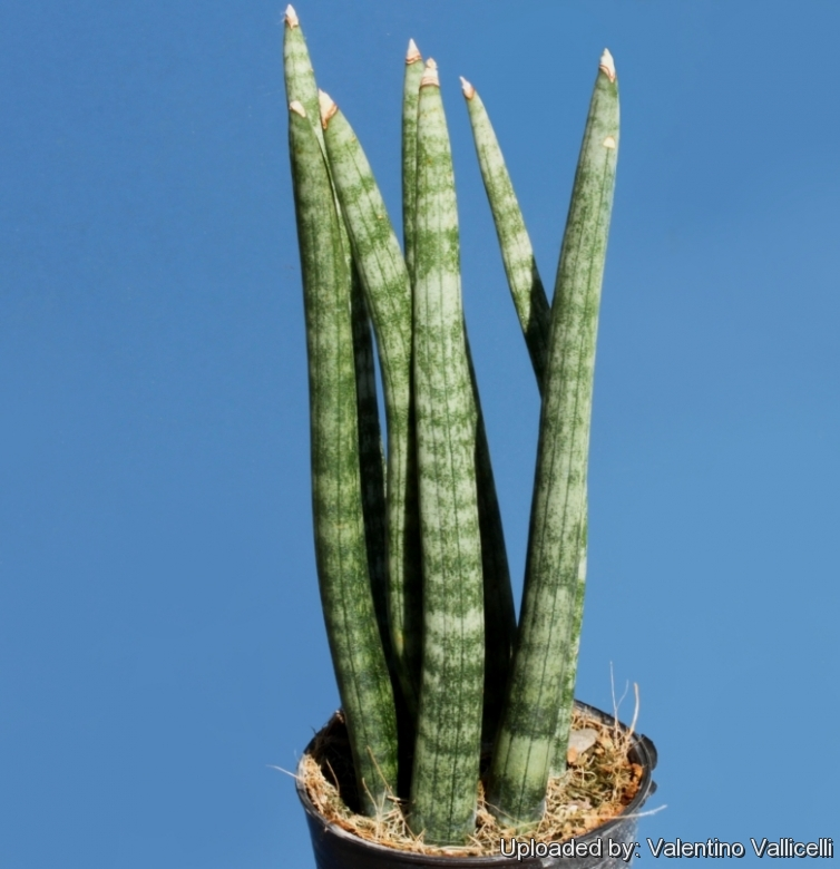 Sansevieria cylindrica Photo by: Valentino Vallicelli