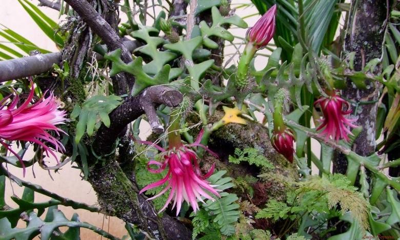 """Epiphyllum Anguliger /""""Fishbone/"""" Rare Zig Zag stem cutting 8"""""""