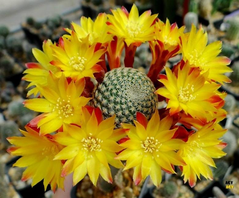 Semis de Sulcorebutia (cactus) Sulcorebutia_heliosoides_24109_l