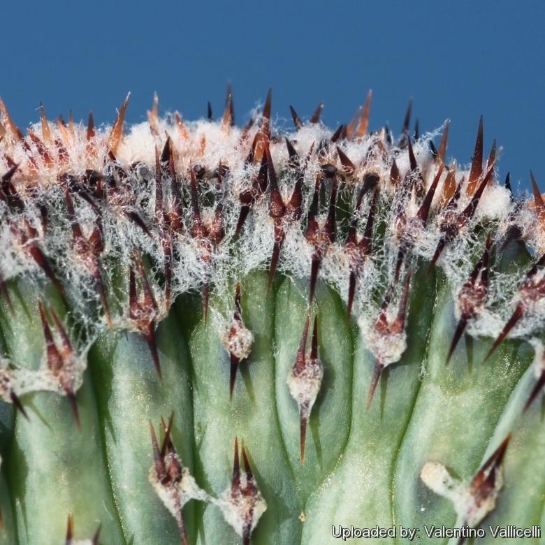 monvillea spegazzinii cristata