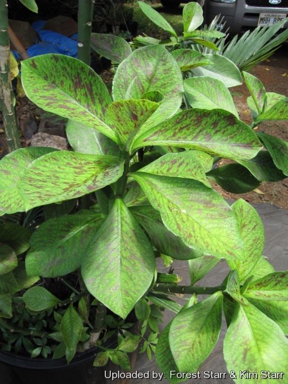 "Euphorbia /""synadenium grantii rubra/"""
