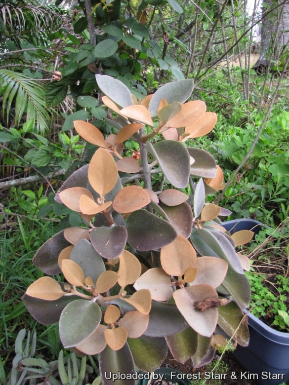Kalanchoe Orgyalis /'/'Kupfer Spoons/'/' 1 X Stem Schneiden Sukkulenten Plant