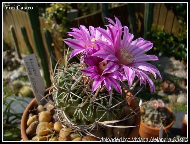 Piltz Kakteen echinofossulocactus multicostatus f lloydii