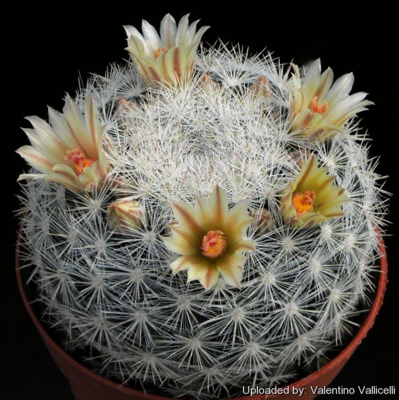 Semis de Mammillaria (cactus) Pht_2316_l