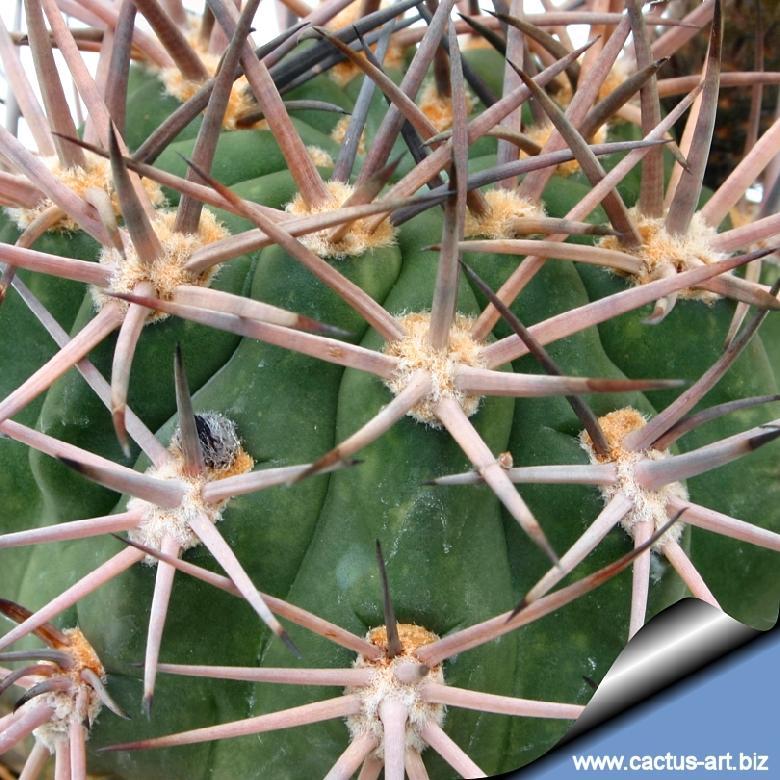 Acanthocalycium Brevispinum
