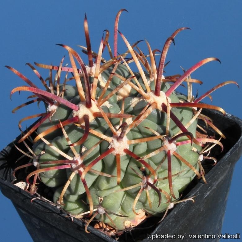 GLANDULICACTUS mathssonii Cactus SCLEROCACTUS