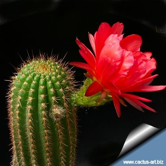 Torch Cactus-Trichocereus Grandiflorus