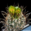 Sclerocactus scheeri GL707 Falcon Lake. Zapata Co. TX. Flowers: Yellowish/greenish brown.