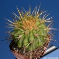 N. El Rinco 1300m. This is a form  from high altitude characterized by long spines.