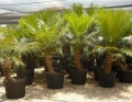Potted specimens Cycad International,  Katherine, Northern Territory, Australia